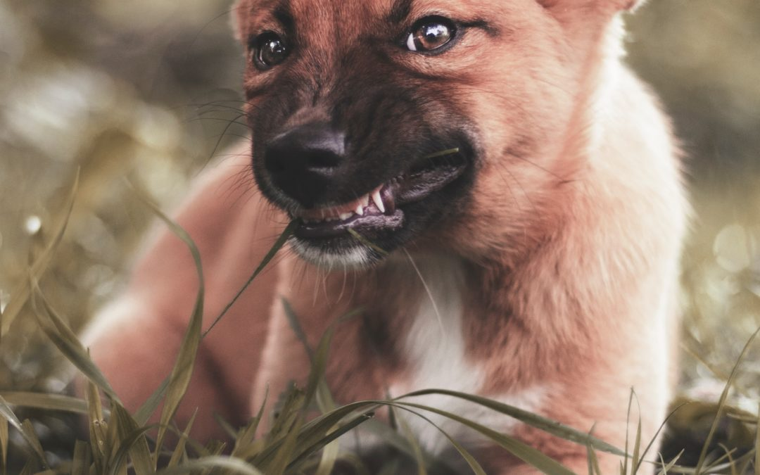 PUPPY AGGRESSION:  RECOGNIZING THE SIGNS AND HOW TO DEAL WITH IT